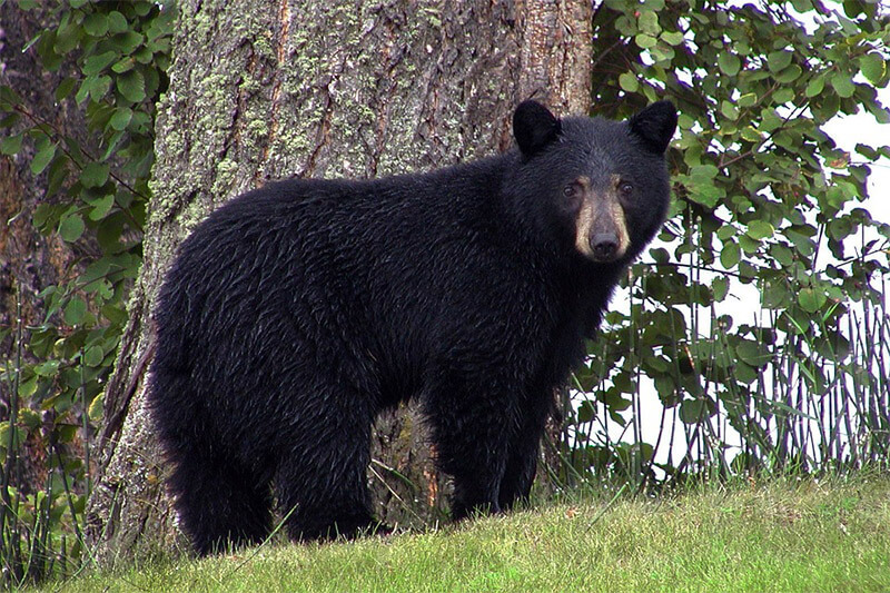 Bears in Gold Country | Gold Country Campground Resort